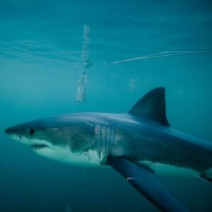 Update: The Great Whites Return To The Cape Waters Following Orca Attacks