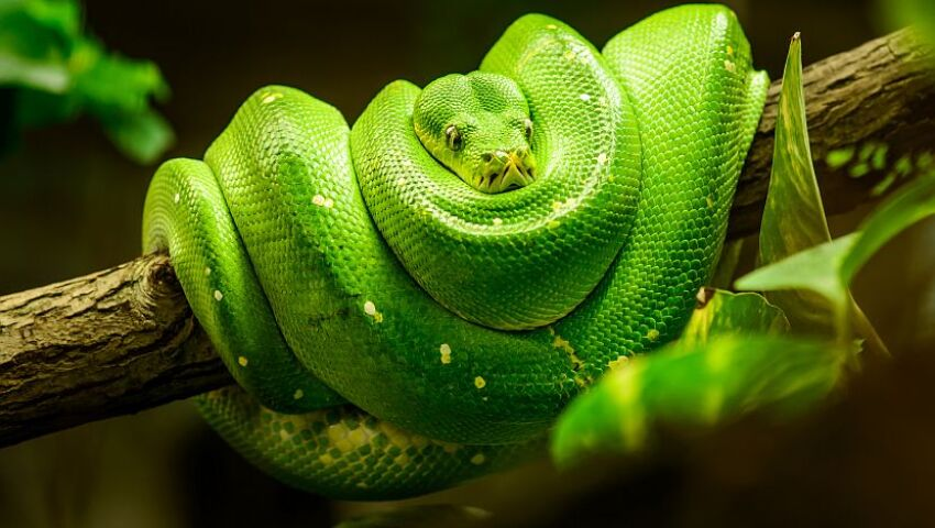 World Snake Day 2017 -  Some sssssssuper specifics about the slithering serpents