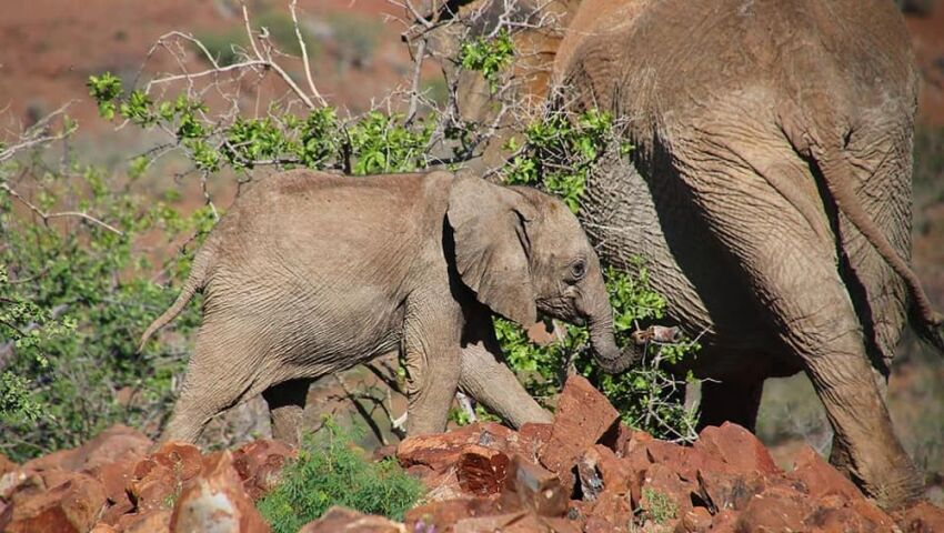 Desert Elephants in Namibia – An Unfortunate Snare Incident