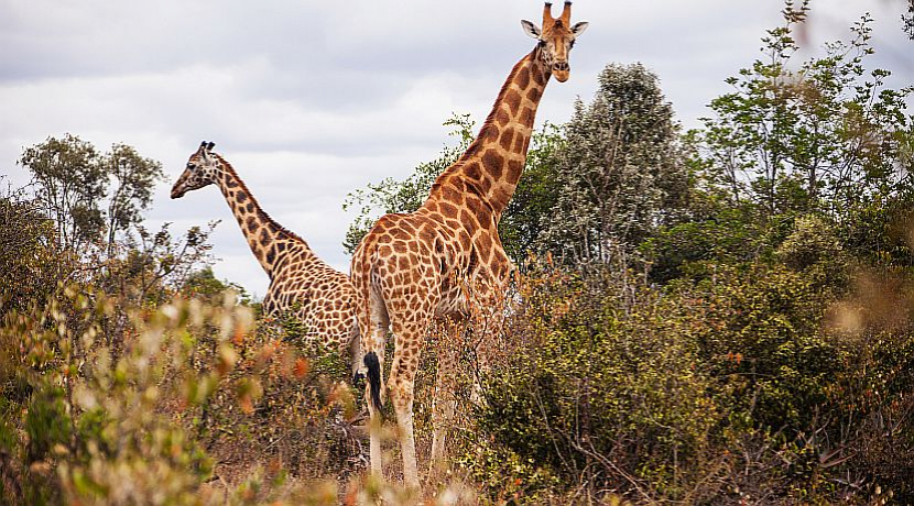 From 'Least Concern' To 'Vulnerable' - Giraffes Are Now At Risk Of 'Silent Extinction,' Says The IUCN