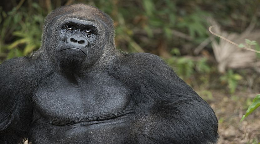 Gorilla Trekking Is An Amazing Experience!