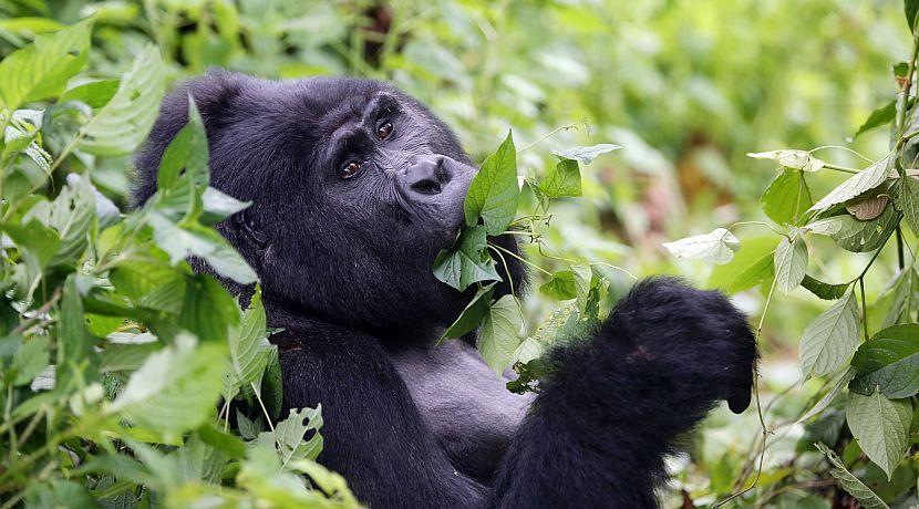 Have Gorilla Tours Been A Lifelong Dream?