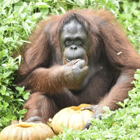 How to play 'trick or treat' with an orangutan