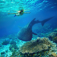 International Whale Shark Day - A Majestic Species At Risk...Due To Tourism?