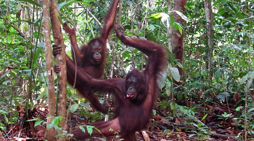Long And Arief The Orangutans Have Been Spotted In The Wild - Mother And Adopted Son Are Doing Well!