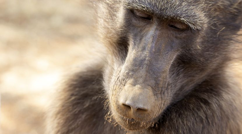 Meet Shrinky... A Very Special Baboon From The Namibia Wildlife Sanctuary!