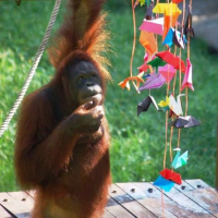 Meet The Animals At The Great Orangutan Project!