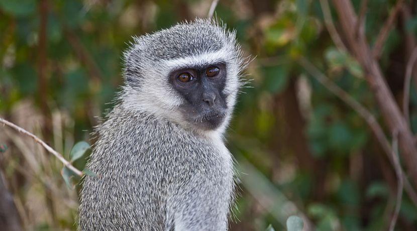 Meet The Monkeys Of Namibia