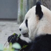 National Panda Day - Less Than 2000 Remaining!