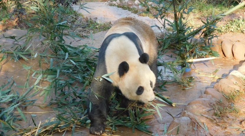 National Panda Day - Less Than 2000 Remaining!