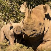 NEWS: New Baby Rhino Discovered On The Shamwari Conservation Experience!