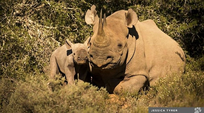NEWS: New Baby Rhino Discovered On The Shamwari Conservation Experience!