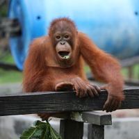 Nyaru Menteng Orangutan Sanctuary Volunteer Reviews!