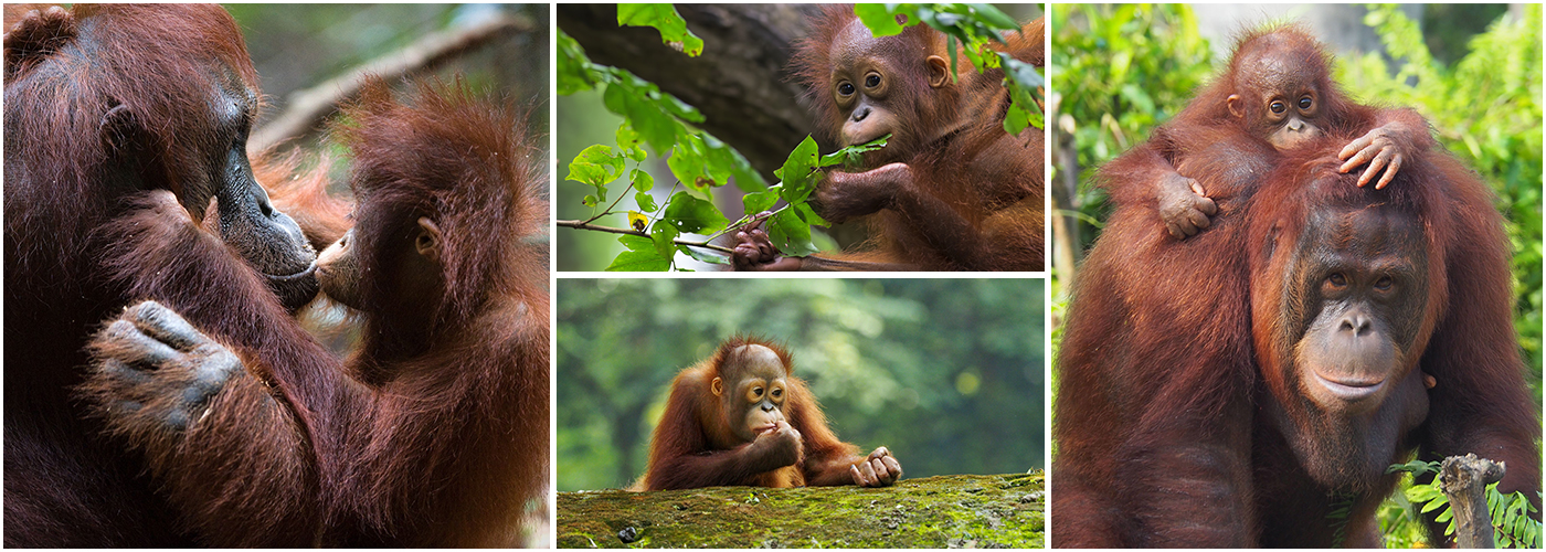Volunteer With Orangutans | The Great Projects