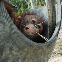 Our Top 3 Orangutan Rehabilitation Stories