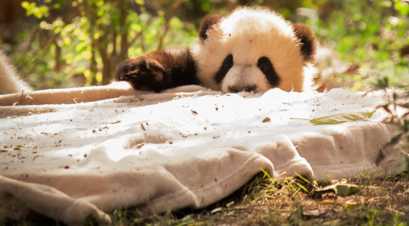 Panda-Monium: How Much Do You Really Know About These Yin and Yang Bears?