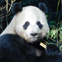 Panda Volunteer Experience in China