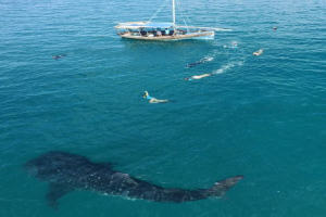 Plan and Execute Whale Shark Tourism Excursions
