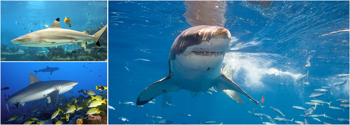 Shark Conservation Projects Abroad | The Great Projects