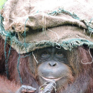 The Benefits Of Enrichment At The Great Orangutan Project - In The Project Coordinator's Own Words!