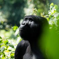 The Gorilla Families In Uganda