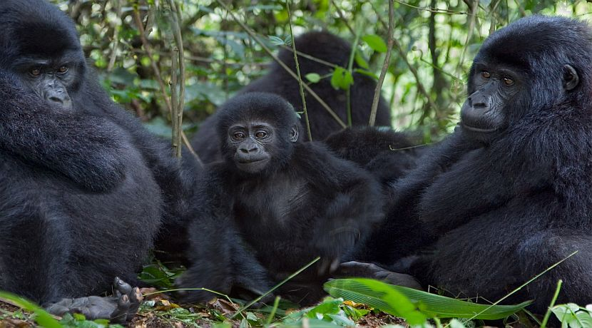 The Gorilla Families In Uganda