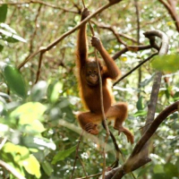 The IAR Orangutan Project Achieved So Much For Wildlife Conservation In January - Check Out Just How They Did It!