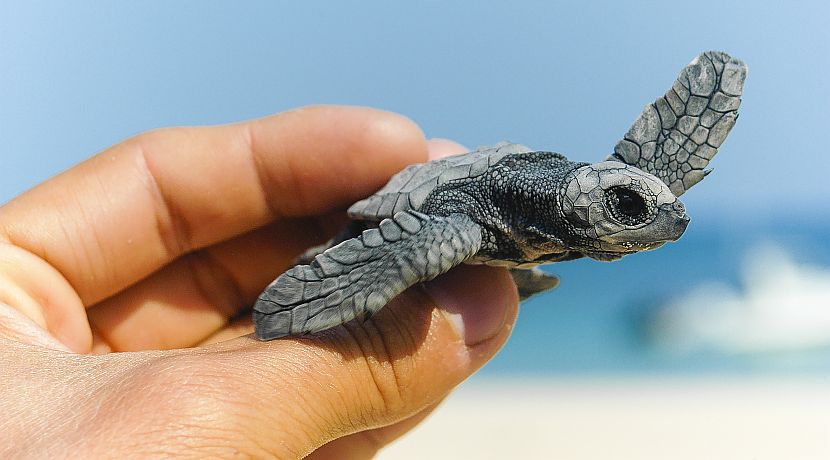 Turtle Season In Costa Rica - Why Now Is A Vital Time To Volunteer