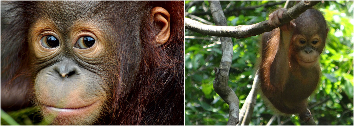 Visit The Orangutans In Borneo | The Great Projects