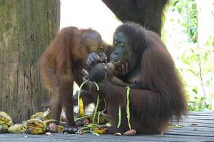 Visit To The Sepilok Orangutan Sanctuary