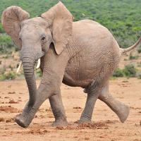 World Elephant Day 2016 - 100 Killed Each Day?