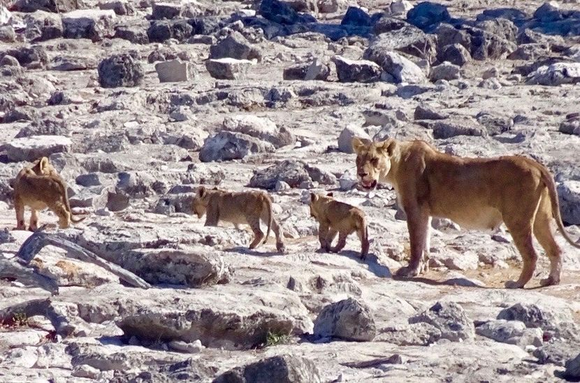 Lion and cubs at Etosha National Park