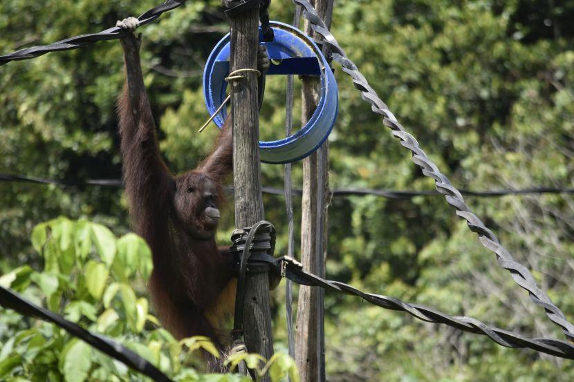 Citra From Samboja Lestari Exploring Her New Home