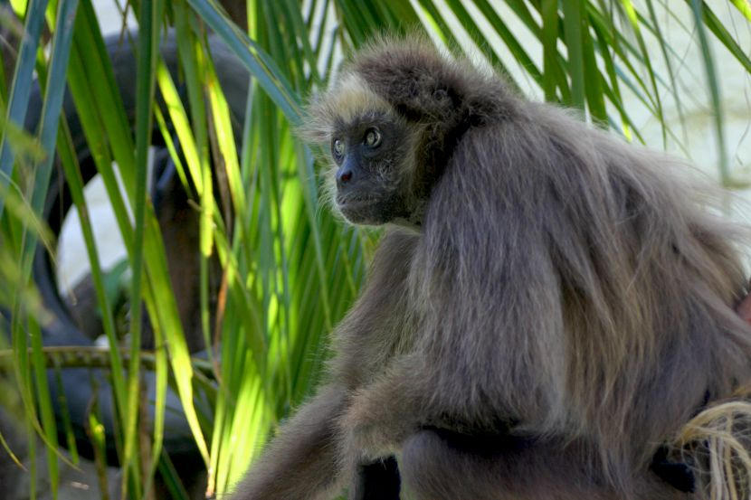 is the brown spider monkey endangered?