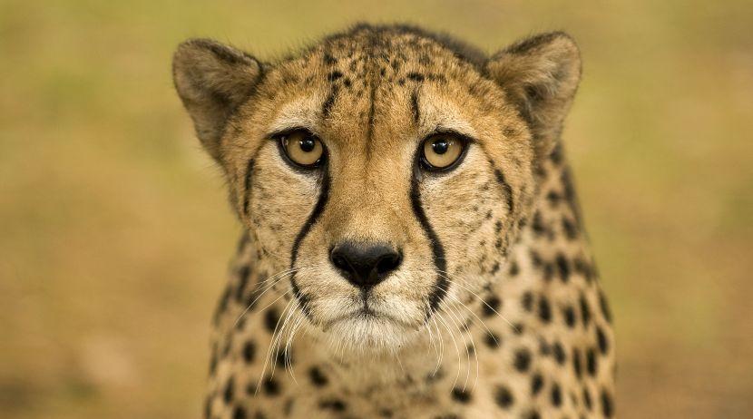 Cheetah - Volunteer With Big Cats