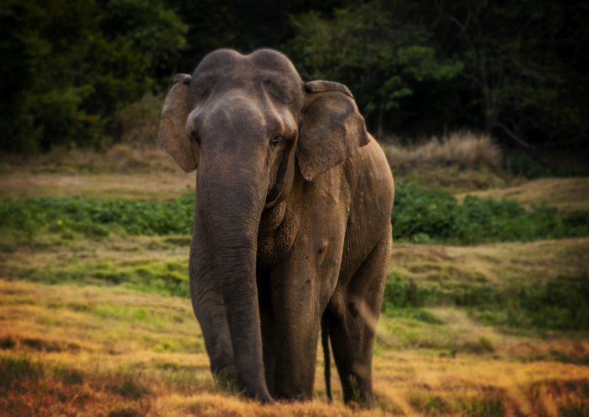 Wild Asian Elephant In Sri Lanka
