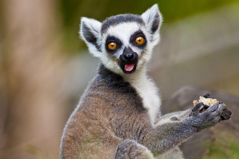 lemurs pf madagascar
