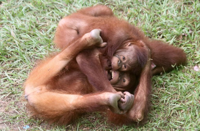 young orangutans playing at The Great Orangutan Project