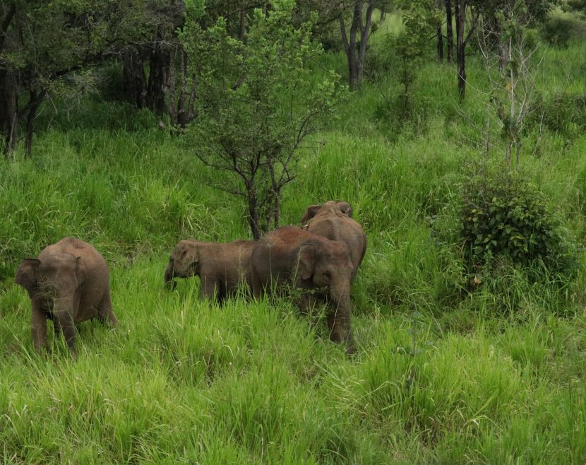 Wild Asian Elephants In Sri Lanka