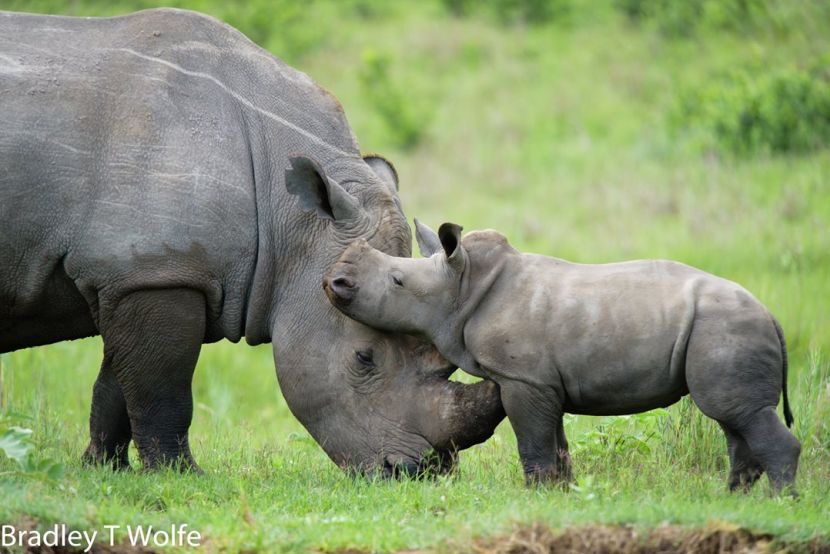 Baby Rhino and Mother on Rhino and Elephant Conservation Project
