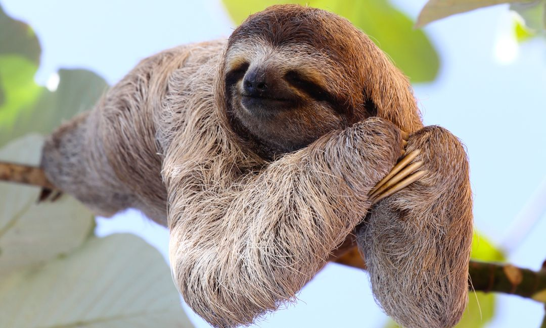 Happy Three-Toed Sloth Sleeping In Tree - The Great Projects