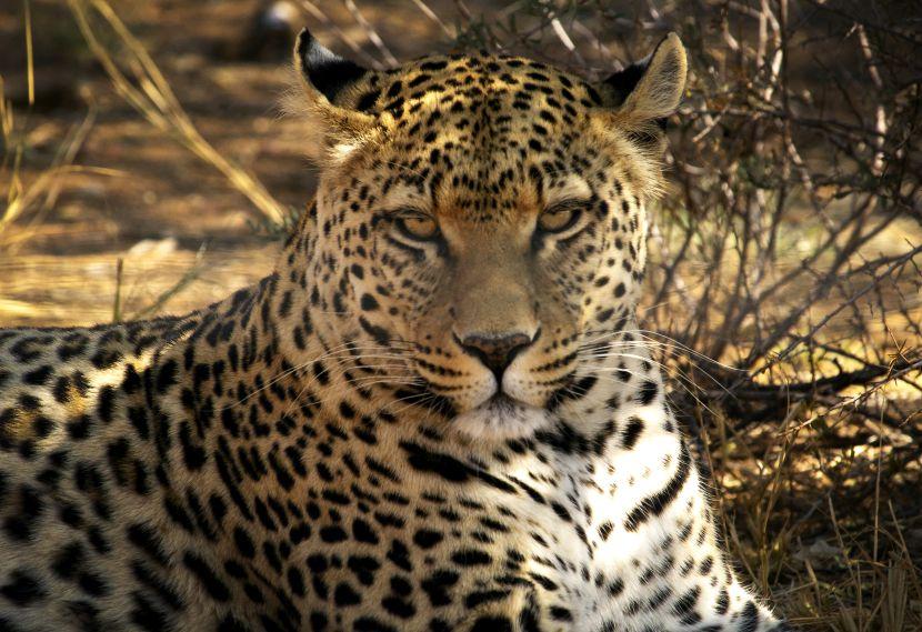 Leopard At Namibia Wildlife Sanctuary