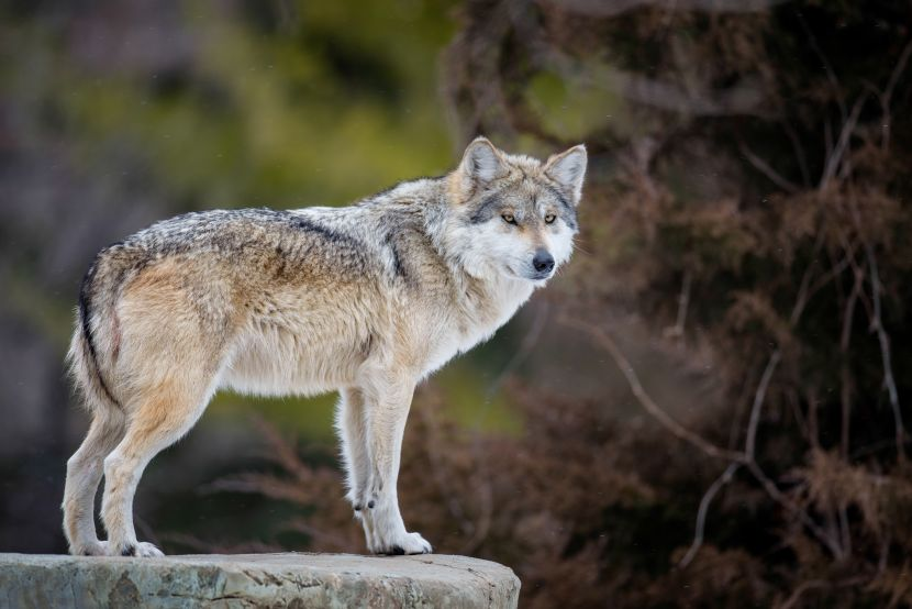 how many mexican gray wolves are there
