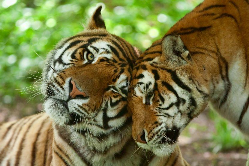 tigers cuddling