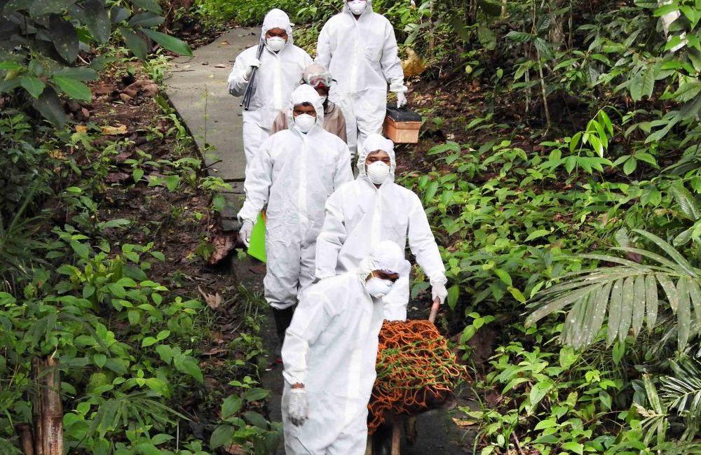 Rescue Mission Of Adult Orangutan
