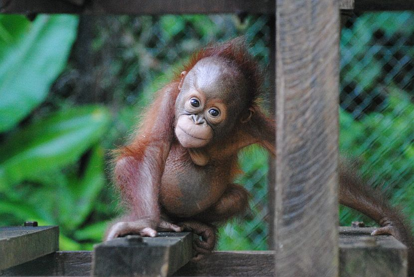 Bornean Orangutan The Great Projects