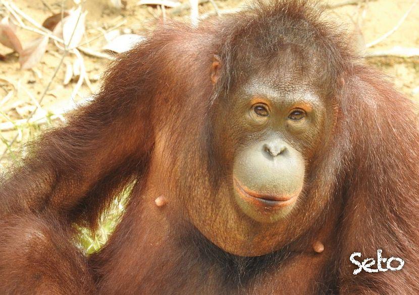 Latest orangutan release at Samboja Lestari