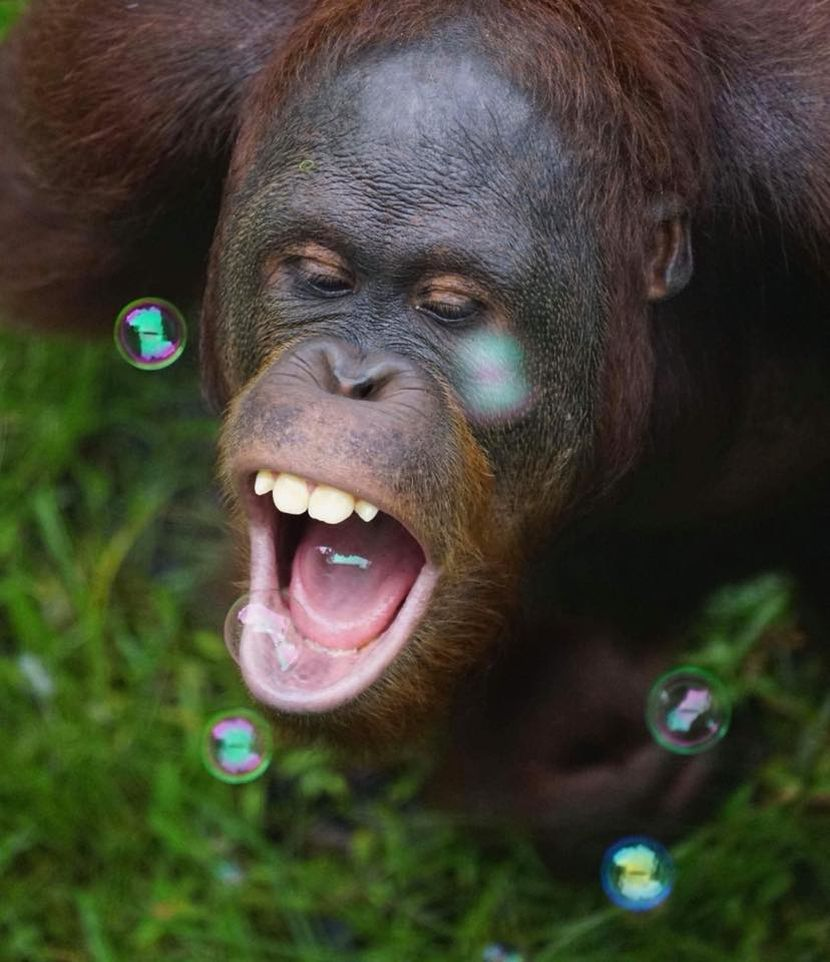 Bubble Enrichment At The Great Orangutan Project