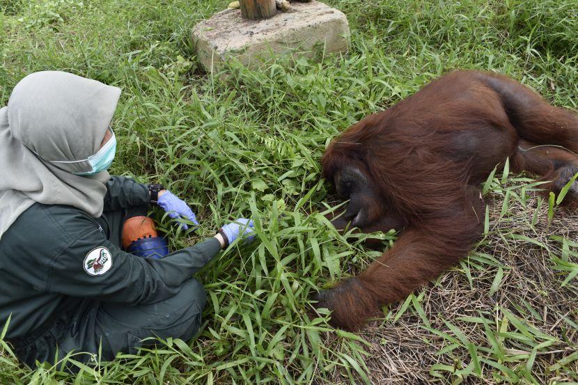 Vera Bornean Orangutan Release Into Wild