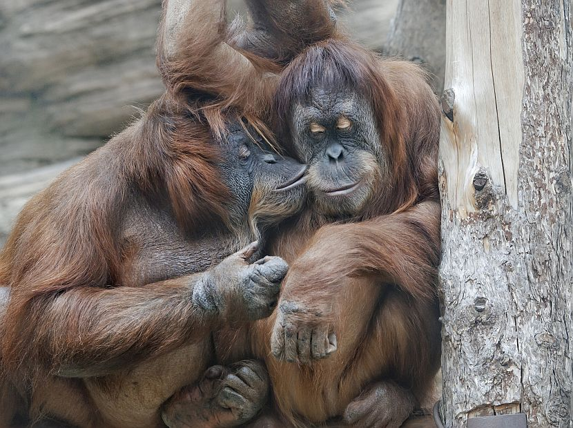 Our Favourite Funny Orangutans | The Great Projects